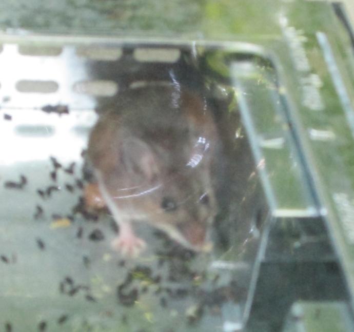 Male in trap